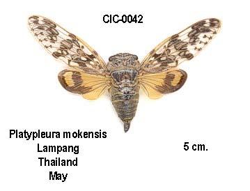 Platypleura mokensis