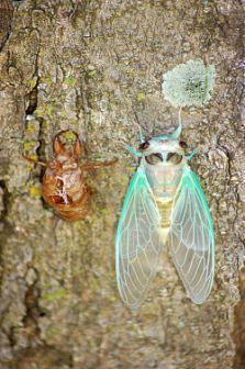 Neotibicen superbus photos by Elise Solloway, from 2005.