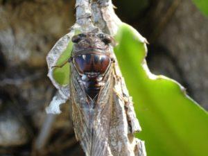 Neotibicen resonans photos by Joe Green from 2007, taken in Florida.