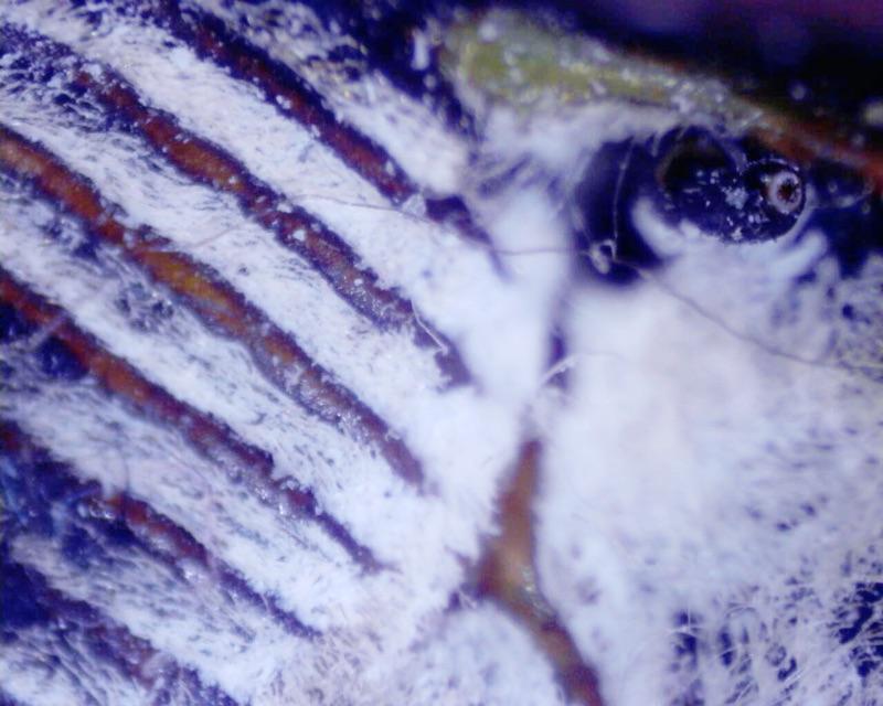 N. tibicen clypeus