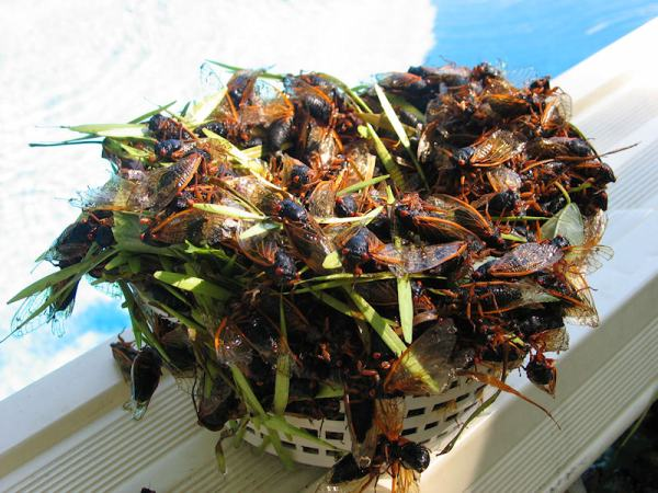 Pool filter basket filled with cicadas by Brian Oliva  These are Magicicada cicadas from Brood XIV that emerged in 2008