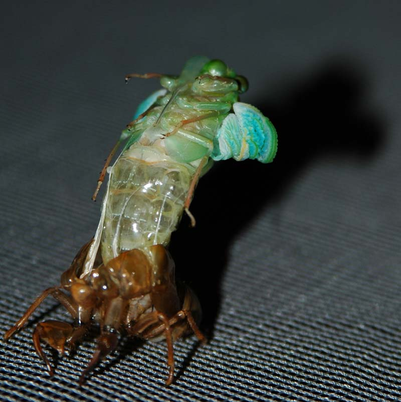Molting cicada photos from Japan by John McDonald. Taken in 2004.