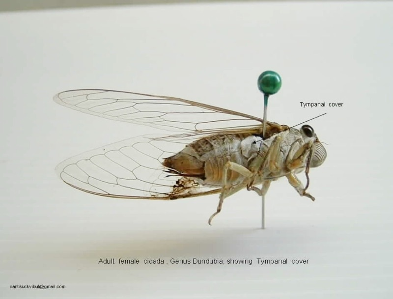 Adult female cicada, Genus Dundubia, showing Tympanal cover