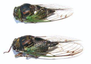Swamp and Lyric Cicada