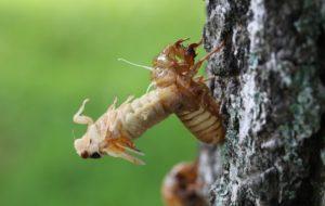 2014 Ohio M tredecassini cicada ecdysis byRoy Troutman