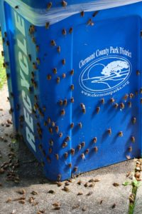 2014 Ohio periodical cicadas on a trash bin by Roy Troutman