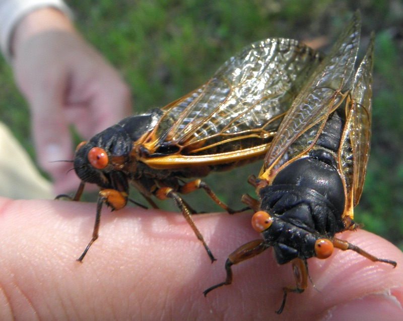 A pair of mating Magicicada septendecims found in Woodbridge Township NJ