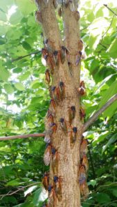 Aggregation of cassini adults on tree trunk 4