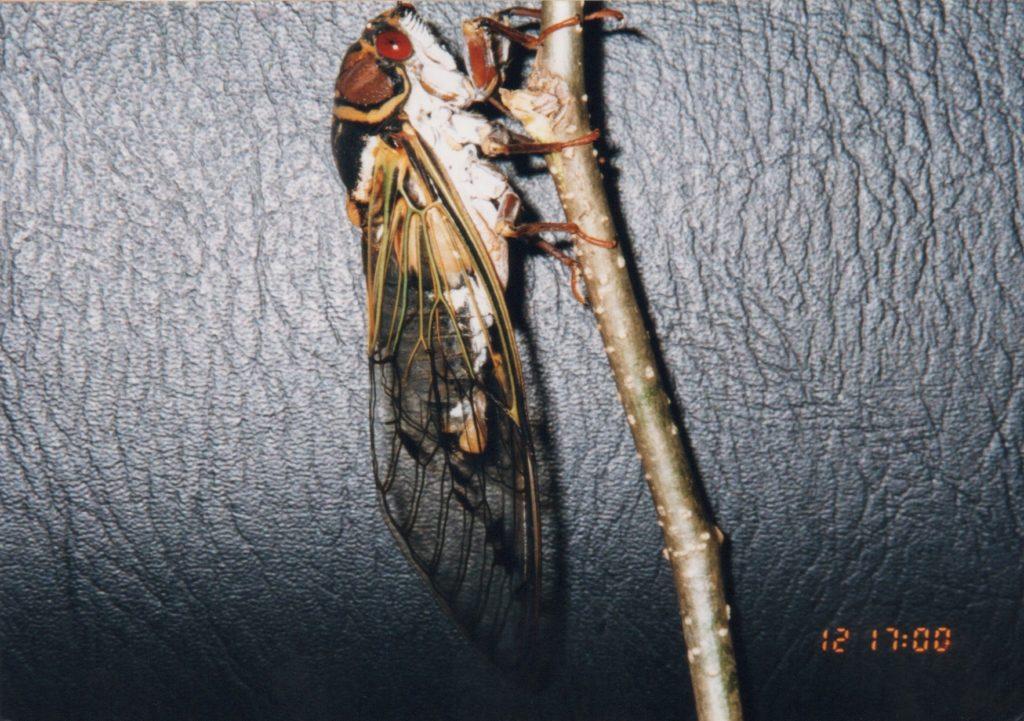 Auritibicen japonicus by Osamu Hikino. Japan.