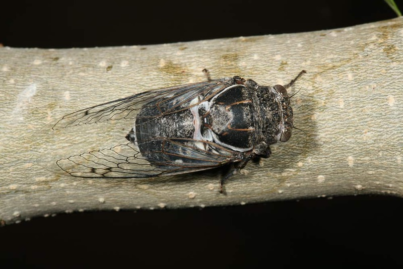 Cacama valvata cicada photos by Adam Fleishman