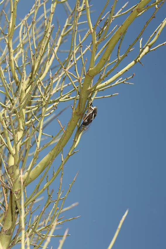 Cacama valvata cicada photos by Adam Fleishman