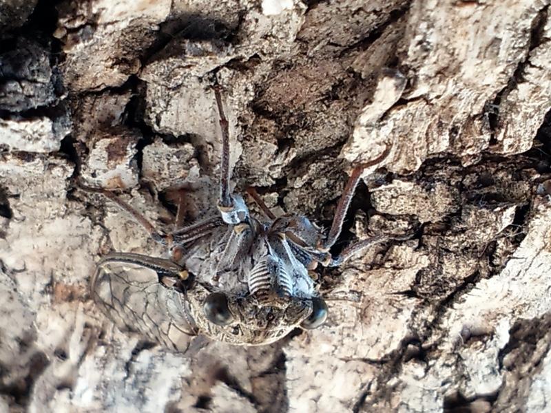 Cicada orni photos by Iván Jesus Torresano García. Spain. 2014.