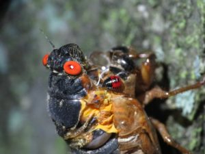 Cicada that sclerotized before it got out of its skin by Matt Berger