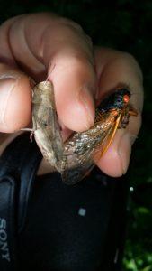 Grasshopper and Cicada