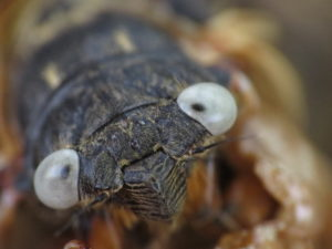 Gray Eyed Cicada Up Close by Matt Berger