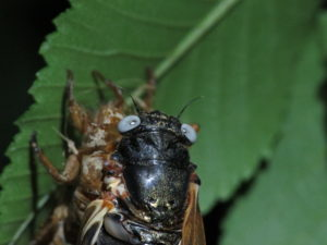 Gray Eyed Cicada by Matt Berger