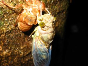 Molting cicada. Photographer: Jose Mora; Location: Costa Rica.
