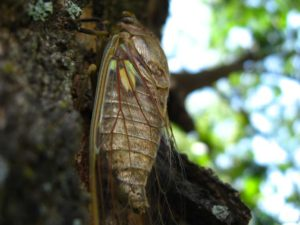 Adult cicada. Photographer: Jose Mora; Location: Costa Rica.