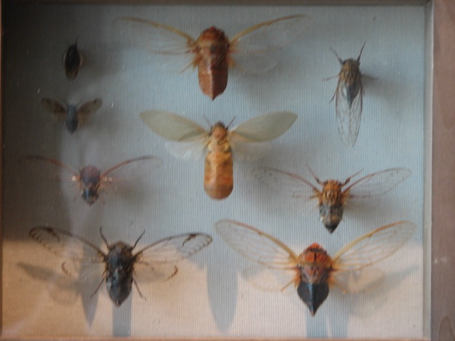 Cicadas of Australia. Lake Count Forest Preserve outside of Chicago. Brood XIII. 2007.