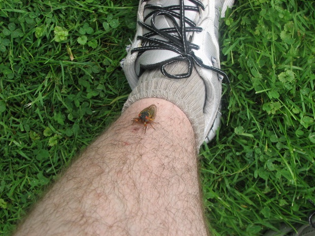 Cicada on a leg. Lake Count Forest Preserve outside of Chicago. Brood XIII. 2007.