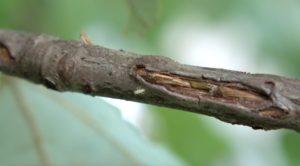 Jim Thorpe Magicicada septendecim 1st instar nymph 2