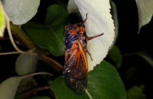 Magicicada adult hanging on leaf
