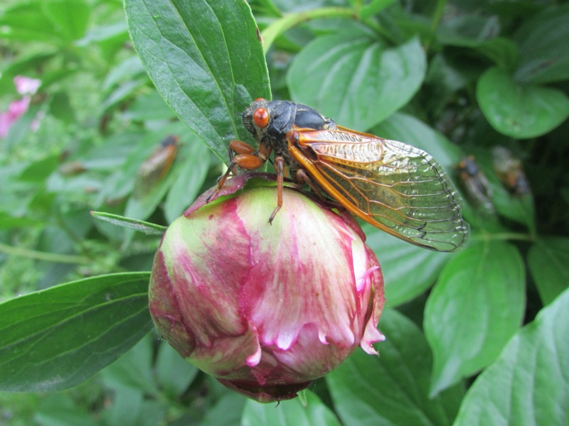 Magicicada cassini on flower in Malden on Hudson NY by Dani Siddle