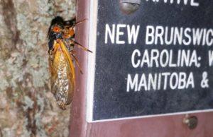 Magicicada cassini on tree plague