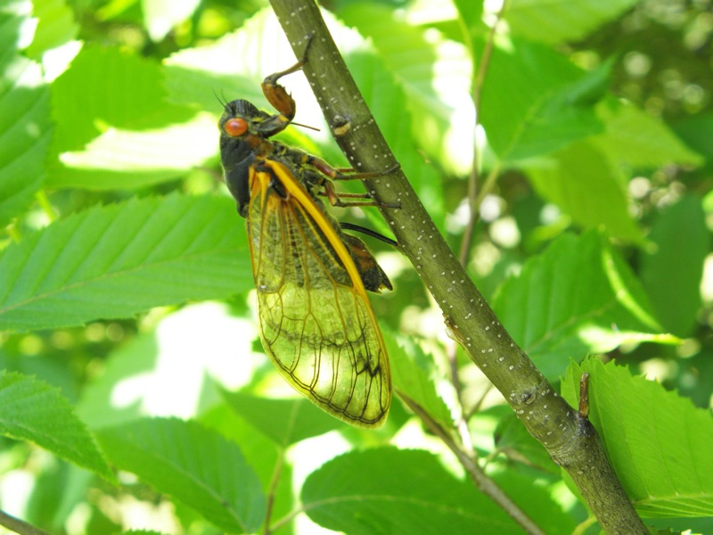 Magicicada septendecim laying eggs _ovipositing_ in Roosevelt Park in Edison NJ