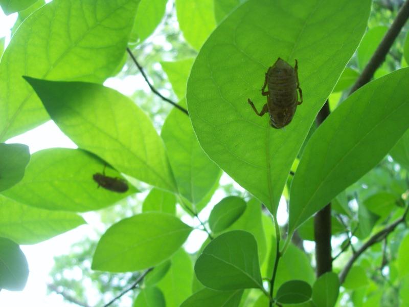 Magicicada tredecassini exuvia on spicebush, Lower McAlpine Greenway 051010 (by Lenny Lampel)