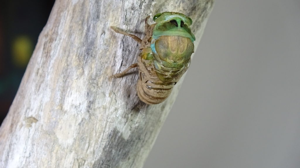Male Neotibicen tibicen molting 01