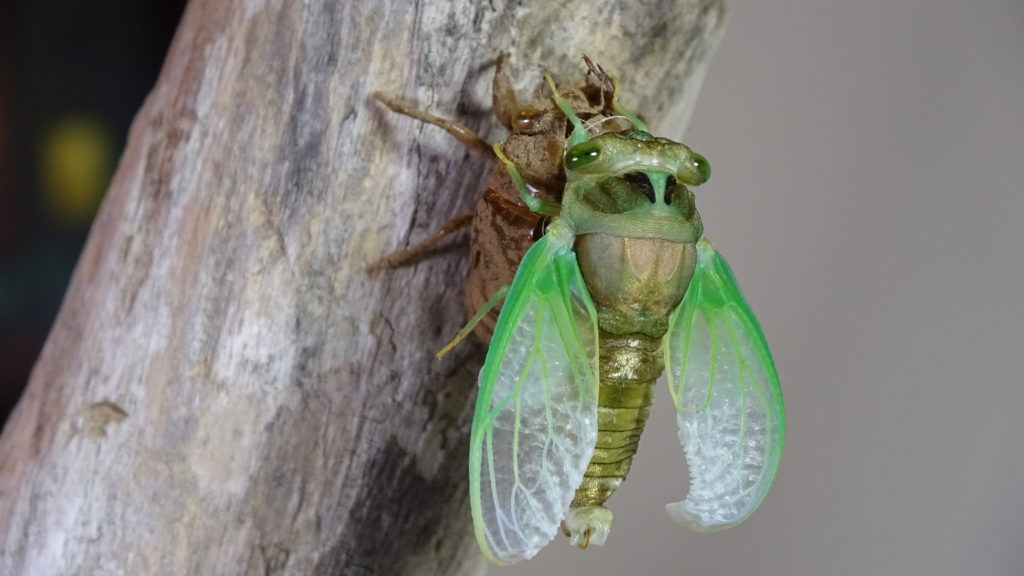 Male Neotibicen tibicen molting 09