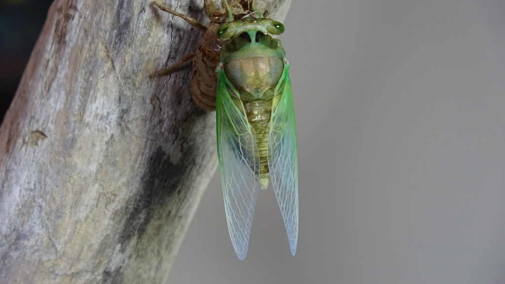 Male Neotibicen tibicen molting 11