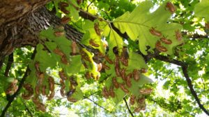 Many Exuvia on Oak Leaves