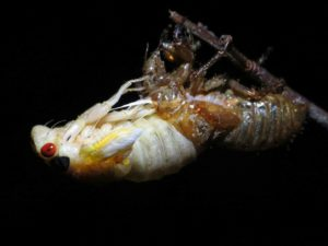 Molting Cicada 3 by Matt Berger