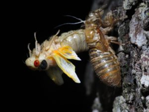 Molting Cicada 4 by Matt Berger