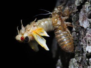 Molting Cicada 4 by Matt Berger