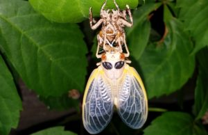 Molting Magicicada inflates its wings
