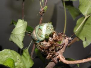 Molting N. tibicen tibicen