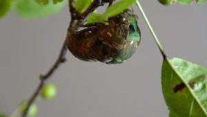 Molting Swamp Cicada 01
