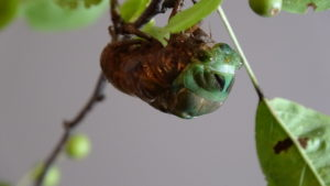 Molting Swamp Cicada 02