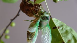 Molting Swamp Cicada 05