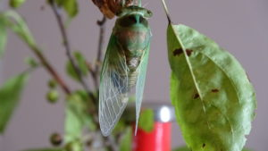 Molting Swamp Cicada 07