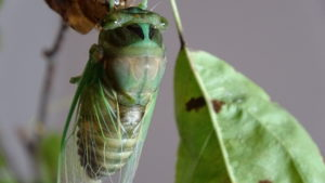 Molting Swamp Cicada 09
