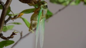 Molting Swamp Cicada 12