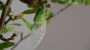 Molting Swamp Cicada 13
