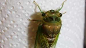 Molting Swamp Cicada 17