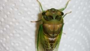 Molting Swamp Cicada 18