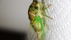 Molting Swamp Cicada 19