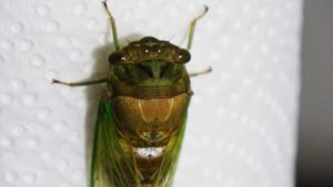 Molting Swamp Cicada 20